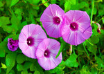 Quartet of Morning Glory blooms