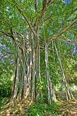 Banyan Tree, with above ground roots, in the Belizian jungle