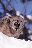 Coyote, Adult snarling