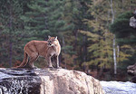 Mountain Lion