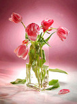 Still life of red-pink tulips