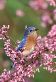 Male Eastern Bluebird in Spring blossoms