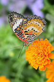 Lacewing butterfly on a Marigolf flower