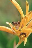 Coasta Rican Tree Frog on Bromiliad