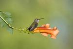 Ruby throated Hummingbird on flower