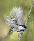 Carolina Chickadee with wings in motion