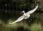 snowy egret flying over venice canals Venice, CA