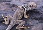 Desert collared lizard on a rock