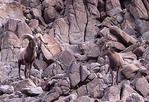 Desert Bighorn Sheep in mating season