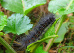 a slightly comose caterpillar with dew on its setae