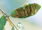 congregation of io moth caterpillars on oak leaf