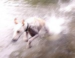 greyhound emerging from pond