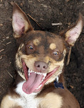 Australian Kelpie laughing/smiling
