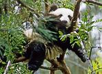 Su Lin, 1 year old Giant Panda, asleep in tree at San Diego Zoo.