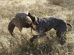 Hunting dog with pheasant