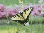 Absract photo of swallowtail butterfly