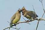 Cedar Waxwings kissing