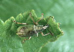 Metallic Green Weevil on a leaf