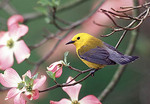 Prothonotary Warbler in the Spring