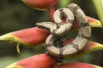 Red-Tailed Boa is a non-venomous snake that kills its prey by asphyxiation