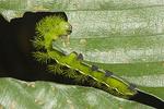 Eyed saturnian moth eating a leaf