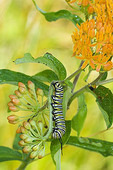 Monarch Butterfly (Daeus plexippus) Caterpillar on Butterflyweed
