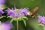 Clearwing Moth feeding