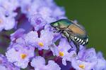 Japanese Beetle on flower