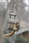Gray Squirrel at bird feeder