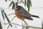American Robin in the Winter