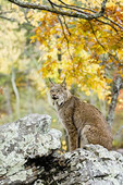 Canadian Lynx in the Fall