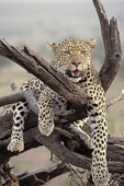African female Leopard resting in a tree