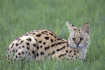 Young Serval in the grass