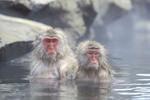 Snow monkeys at Etsu kogen national park, Japan.