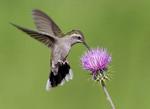 Adult female Blue-throated hummingbird