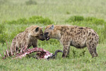 Spotted Hyaena stand over a kill