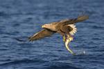 White-tailed Sea Eagle  grabbing a fish