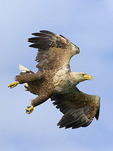 White-tailed Sea Eagle  flying