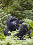 Mountain Gorilla in the bush eating