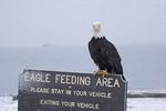 Adult Bald Eagle sitting on eagle feeding area sign.