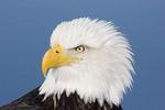Adult Bald Eagle Close-up
