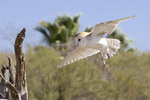 Captive Adult Male Barn Owl Flying
