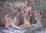 Lion Pride Relaxing