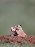 Blacktail Prarie Dogs coming out of hole telling secrets