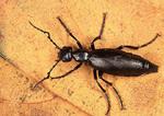 Blister Beetle on a leaf