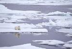 Polar bear in ice block in summer