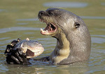 Giant otter cracking a shell