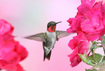 Ruby-throated Hummingbird in Roses