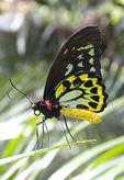 Cairus Birdwing, male, butterfly on a blade of a fern