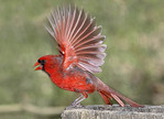 Northern Cardinal flapping wings